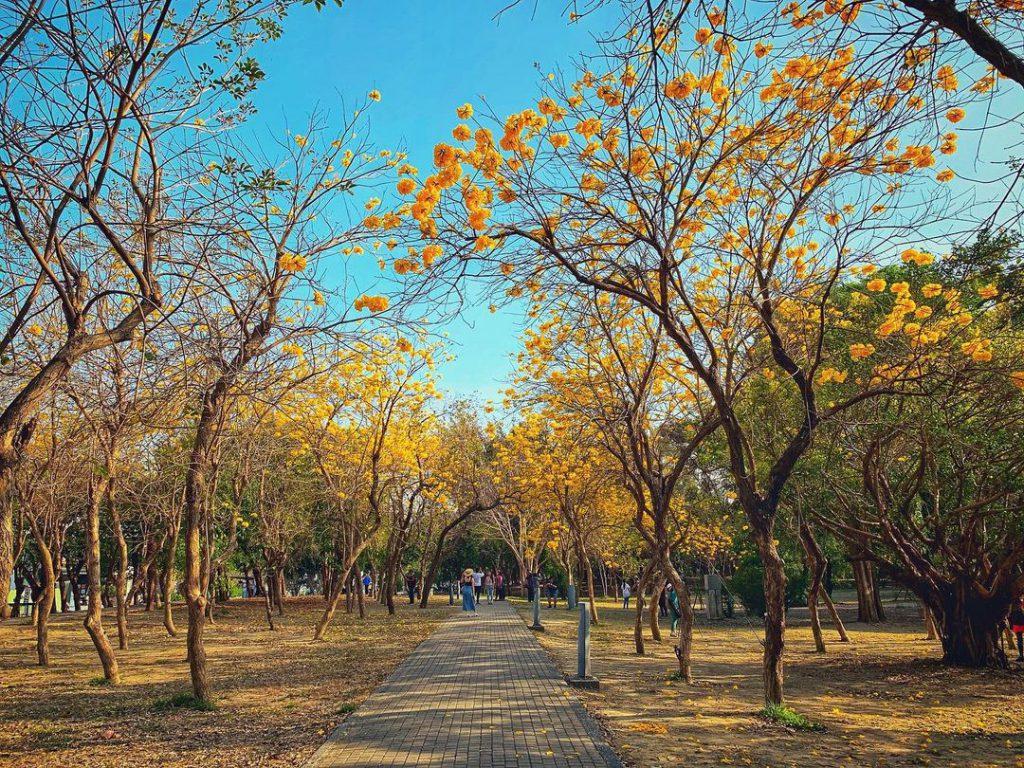 億載公園黃花風鈴木